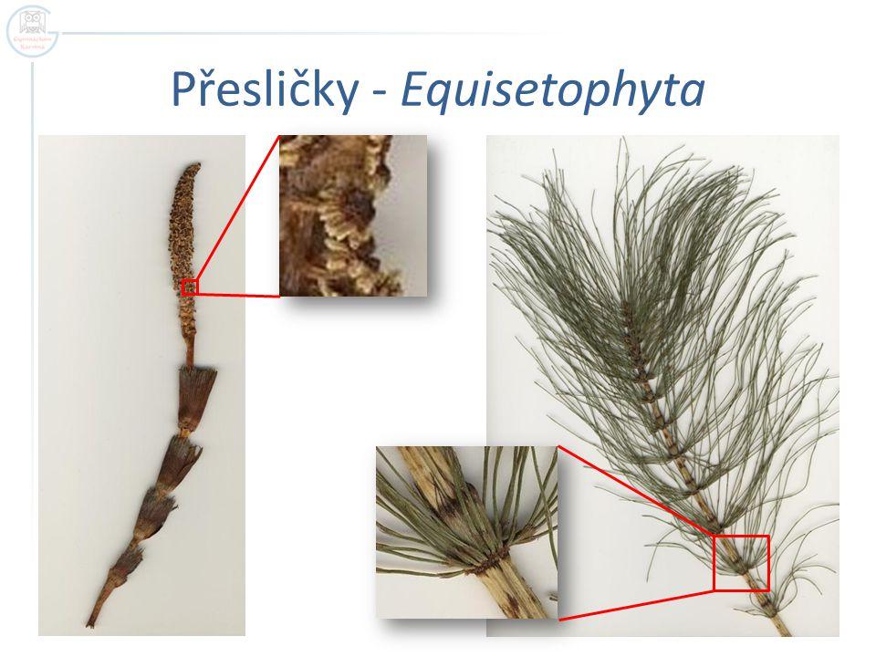 Přesličky - Equisetophyta