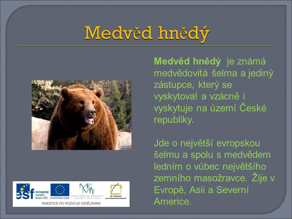Medvěd hnědý je známá medvědovitá šelma a jediný zástupce, který se vyskytoval a vzácně i vyskytuje na území České republiky.