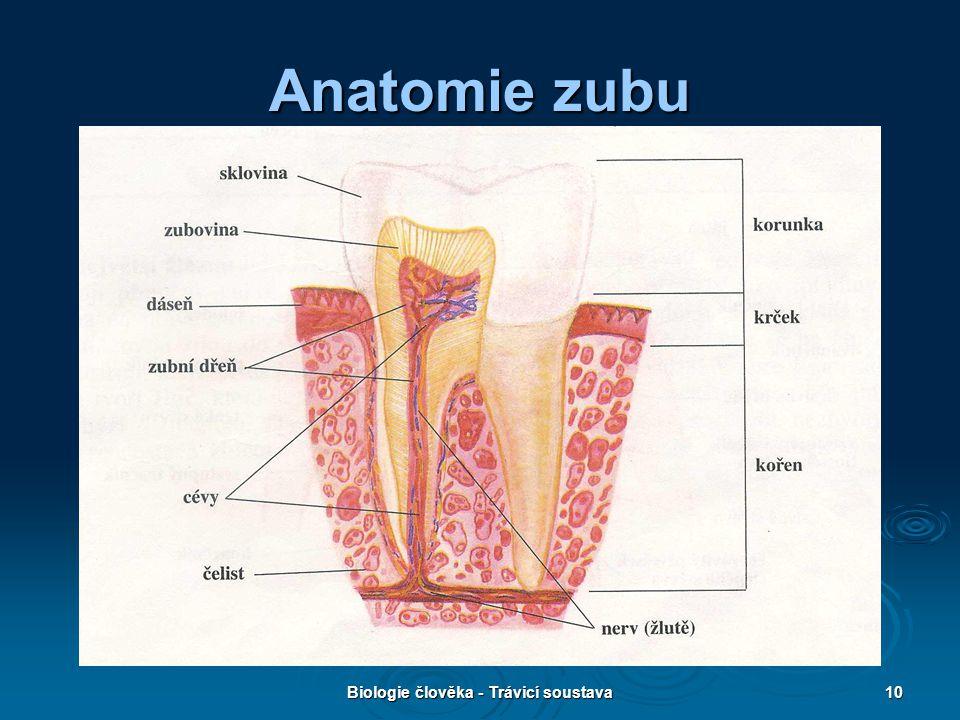 Biologie člověka - Trávicí soustava10 Anatomie zubu