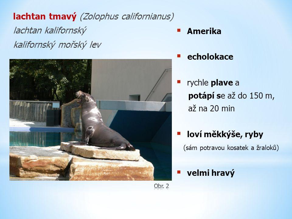lachtan tmavý (Zolophus californianus) lachtan kalifornský kalifornský mořský lev  Amerika  echolokace  rychle plave a potápí se až do 150 m, až na 20 min  loví měkkýše, ryby (sám potravou kosatek a žraloků)  velmi hravý