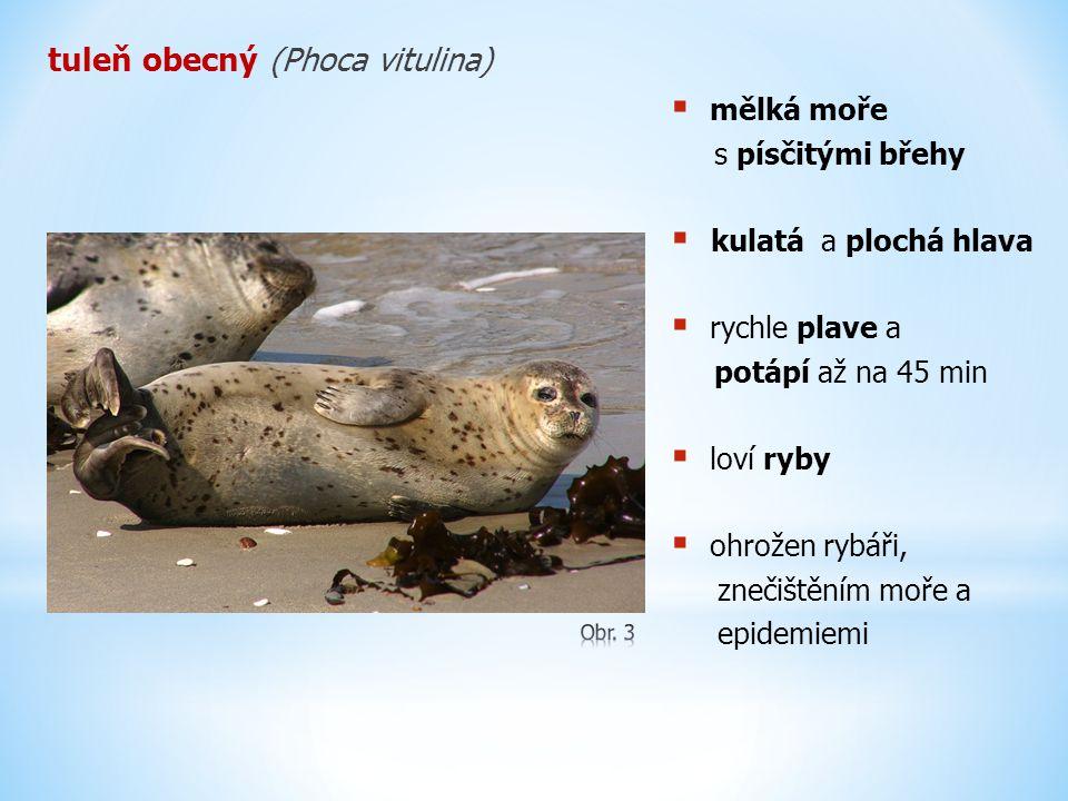 tuleň obecný (Phoca vitulina)  mělká moře s písčitými břehy  kulatá a plochá hlava  rychle plave a potápí až na 45 min  loví ryby  ohrožen rybáři, znečištěním moře a epidemiemi