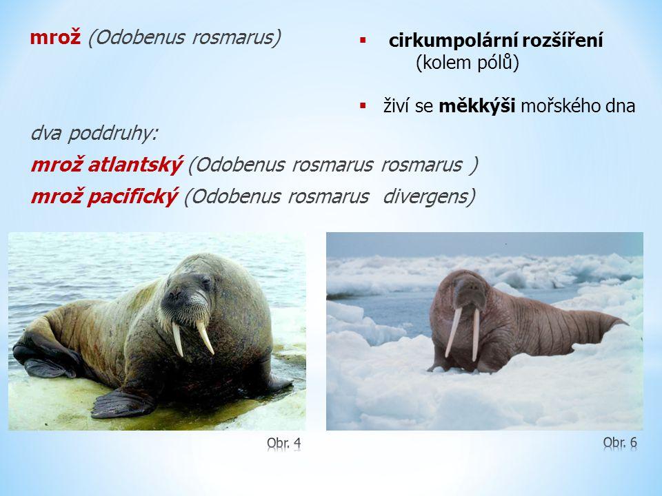 mrož (Odobenus rosmarus) dva poddruhy: mrož atlantský (Odobenus rosmarus rosmarus ) mrož pacifický (Odobenus rosmarus divergens)  cirkumpolární rozšíření (kolem pólů)  živí se měkkýši mořského dna