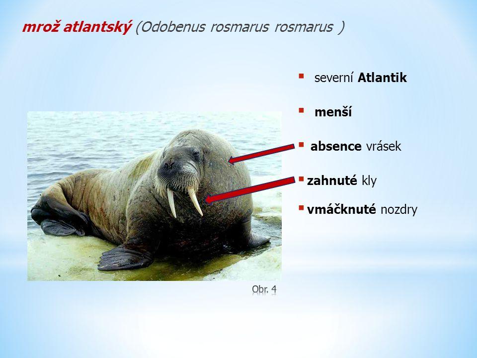 mrož atlantský (Odobenus rosmarus rosmarus )  severní Atlantik  menší  absence vrásek  zahnuté kly  vmáčknuté nozdry
