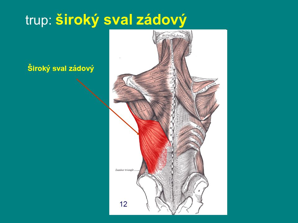 trup: široký sval zádový Široký sval zádový 12