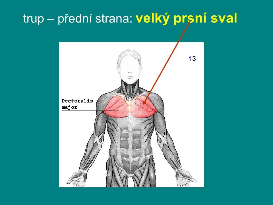 trup – přední strana: velký prsní sval 13