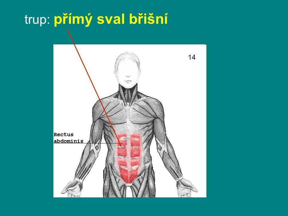 trup: přímý sval břišní 14