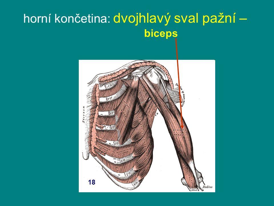 horní končetina: dvojhlavý sval pažní – biceps 18