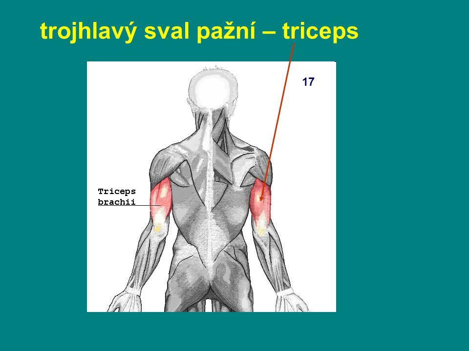trojhlavý sval pažní – triceps 17