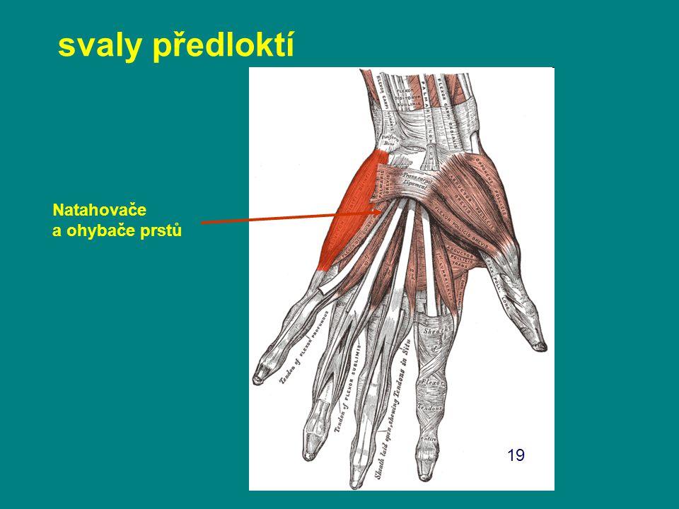 svaly předloktí Natahovače a ohybače prstů 19