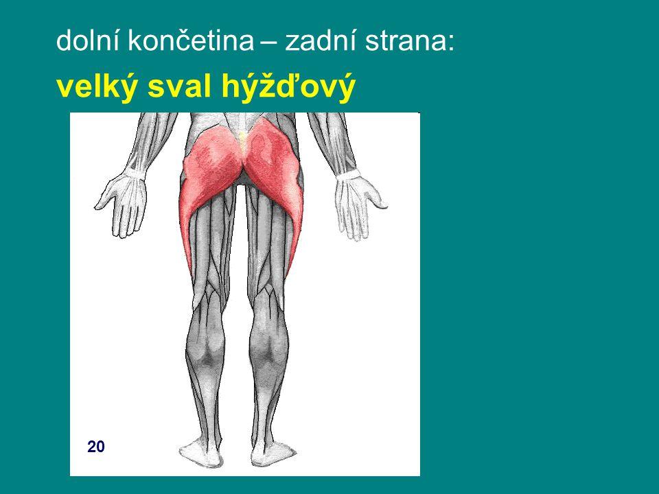 dolní končetina – zadní strana: velký sval hýžďový 20