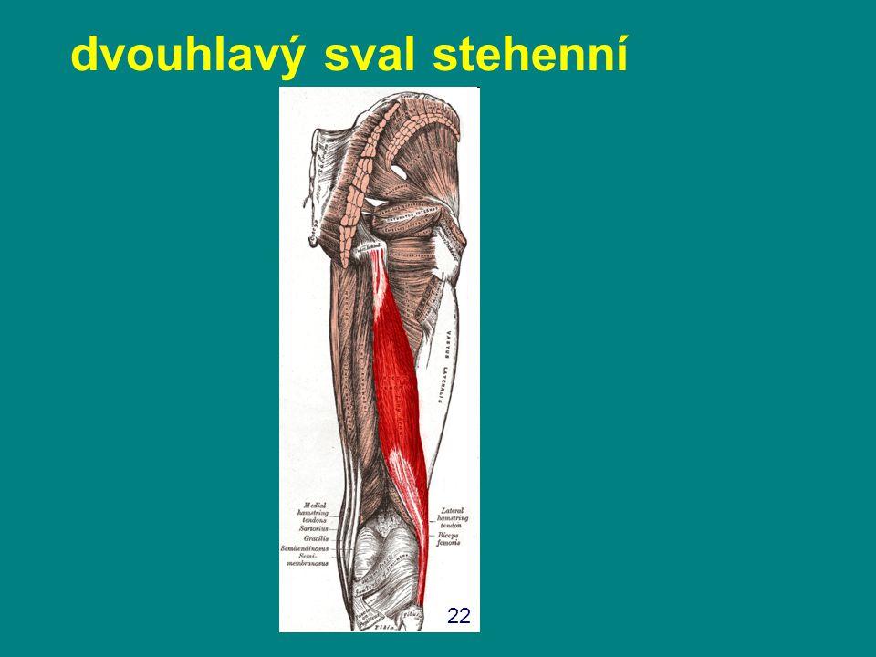 dvouhlavý sval stehenní 22