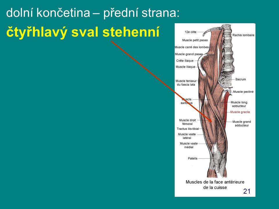 dolní končetina – přední strana: čtyřhlavý sval stehenní 21