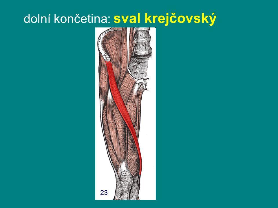 dolní končetina: sval krejčovský 23