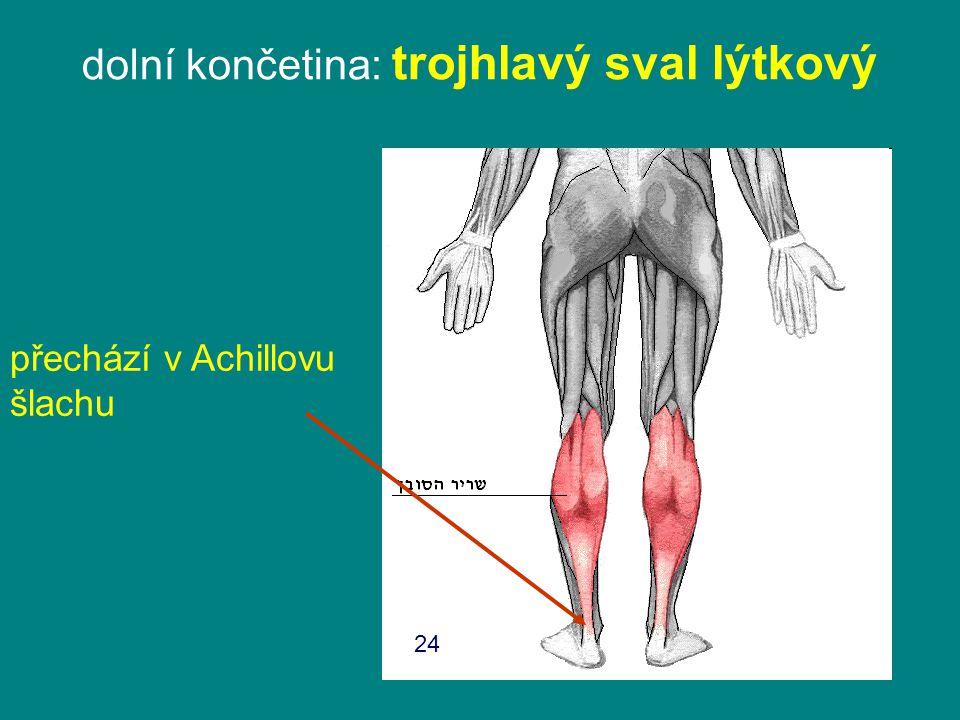 dolní končetina: trojhlavý sval lýtkový přechází v Achillovu šlachu 24