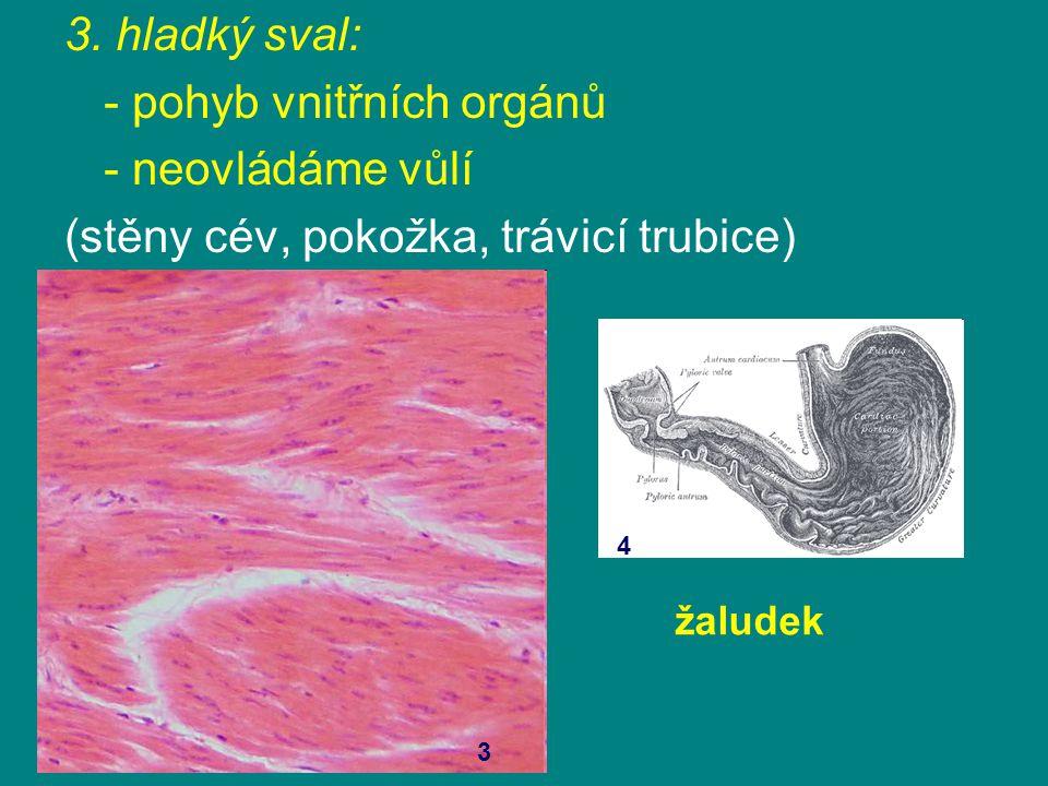 3. hladký sval: - pohyb vnitřních orgánů - neovládáme vůlí (stěny cév, pokožka, trávicí trubice) 3 4 žaludek