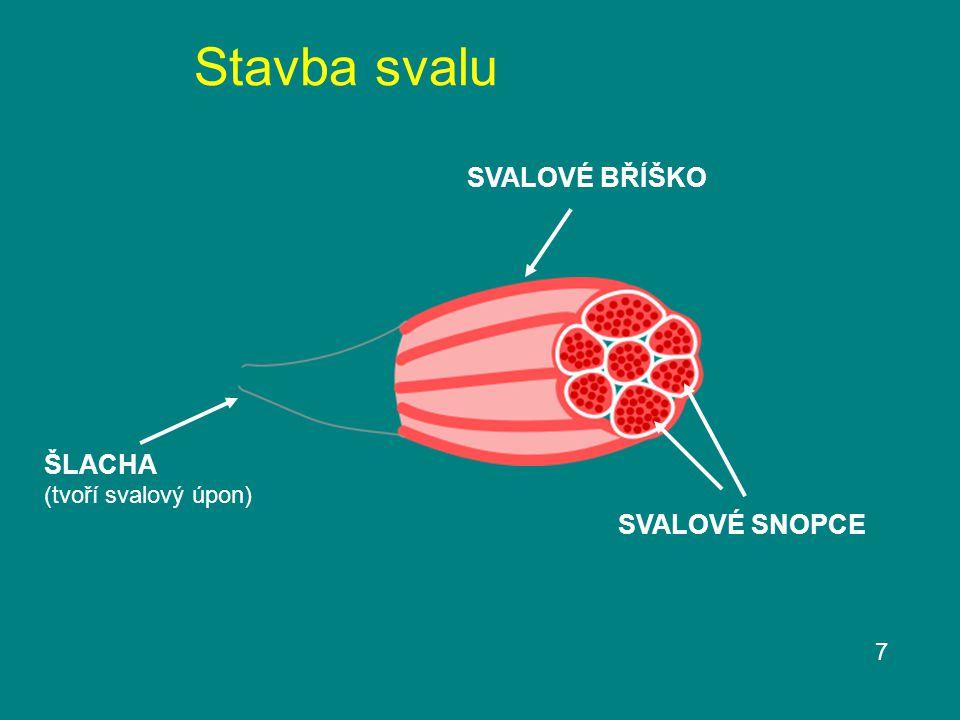 Stavba svalu 7 SVALOVÉ BŘÍŠKO ŠLACHA (tvoří svalový úpon) SVALOVÉ SNOPCE