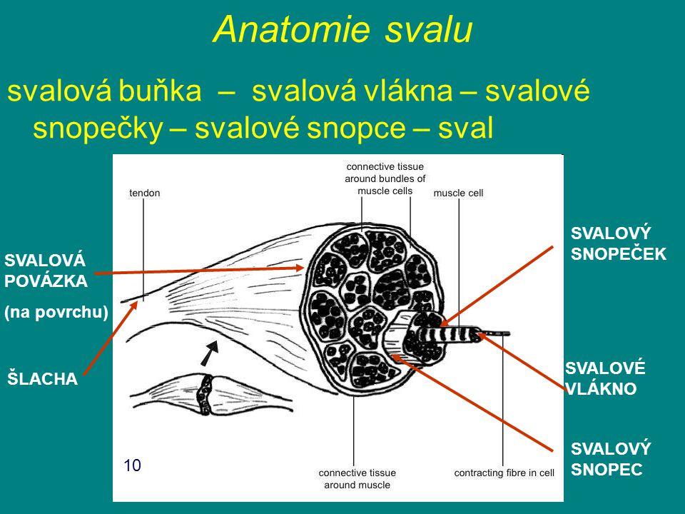 Anatomie svalu svalová buňka – svalová vlákna – svalové snopečky – svalové snopce – sval SVALOVÝ SNOPEC SVALOVÝ SNOPEČEK SVALOVÁ POVÁZKA (na povrchu)