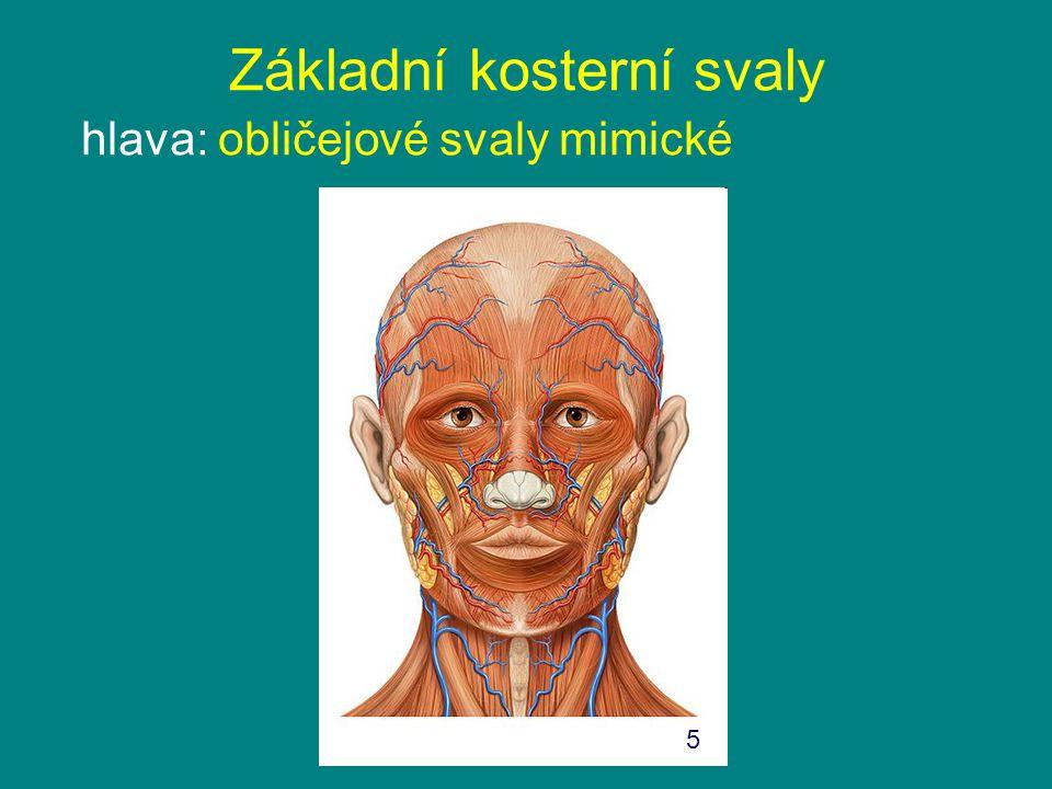 Základní kosterní svaly hlava: obličejové svaly mimické 5