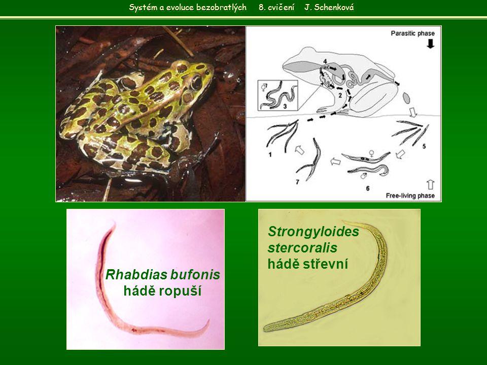 Rhabdias bufonis hádě ropuší Strongyloides stercoralis hádě střevní Systém a evoluce bezobratlých 8. cvičení J. Schenková