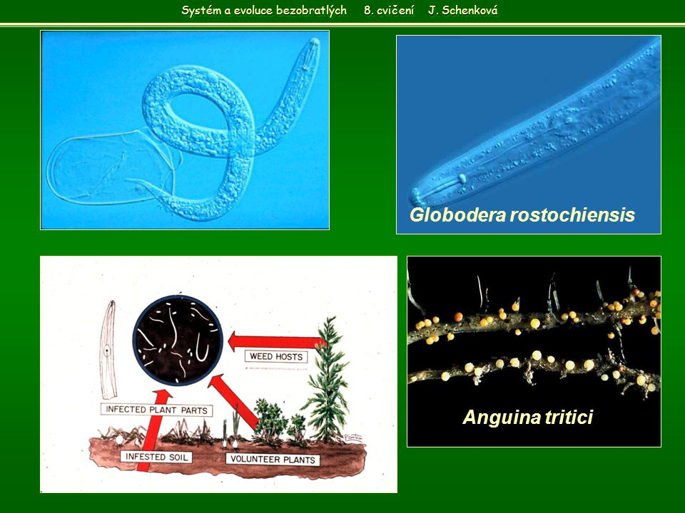 Globodera rostochiensis Anguina tritici Systém a evoluce bezobratlých 8. cvičení J. Schenková