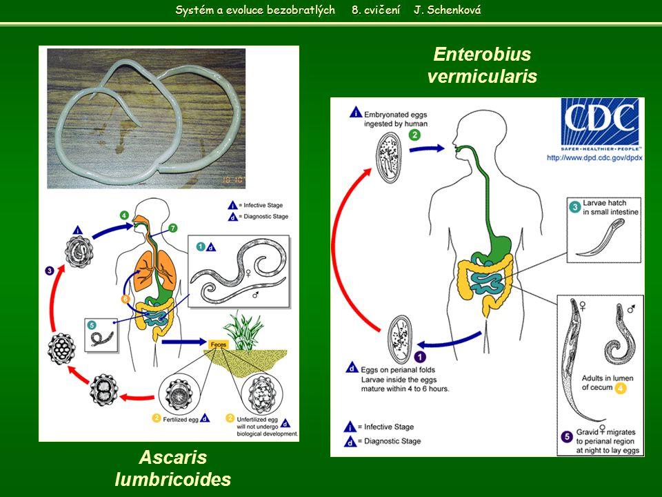 Ascaris lumbricoides Enterobius vermicularis Systém a evoluce bezobratlých 8. cvičení J. Schenková