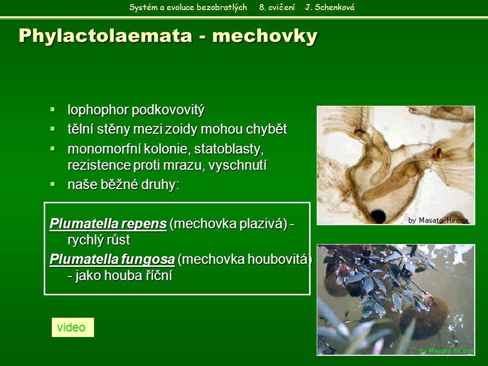 Phylactolaemata - mechovky  lophophor podkovovitý  tělní stěny mezi zoidy mohou chybět  monomorfní kolonie, statoblasty, rezistence proti mrazu, vy