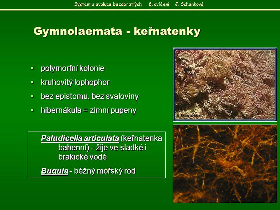  polymorfní kolonie  kruhovitý lophophor  bez epistomu, bez svaloviny  hibernákula = zimní pupeny Paludicella articulata (keřnatenka bahenní) - ži