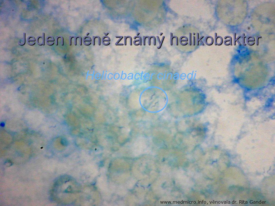 Helicobacter cinaedi Jeden méně známý helikobakter www.medmicro.info, věnovala dr. Rita Gander