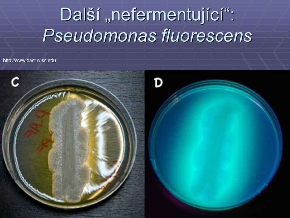 """Další """"nefermentující"""": Pseudomonas fluorescens http://www.bact.wisc.edu"""
