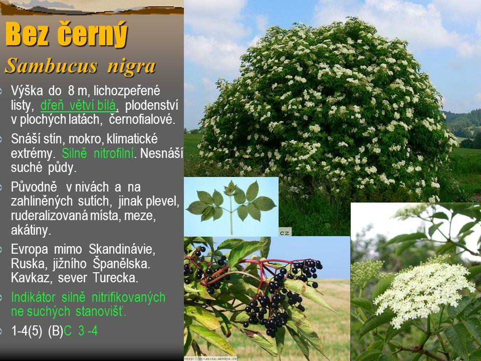  Výška do 8 m, lichozpeřené listy, dřeň větví bílá, plodenství v plochých latách, černofialové.  Snáší stín, mokro, klimatické extrémy. Silně nitrof