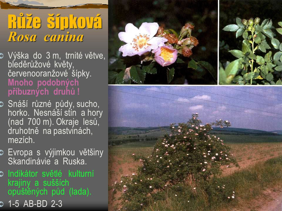 Růže šípková Rosa canina  Výška do 3 m, trnité větve, bleděrůžové květy, červenooranžové šípky. Mnoho podobných příbuzných druhů !  Snáší různé půdy