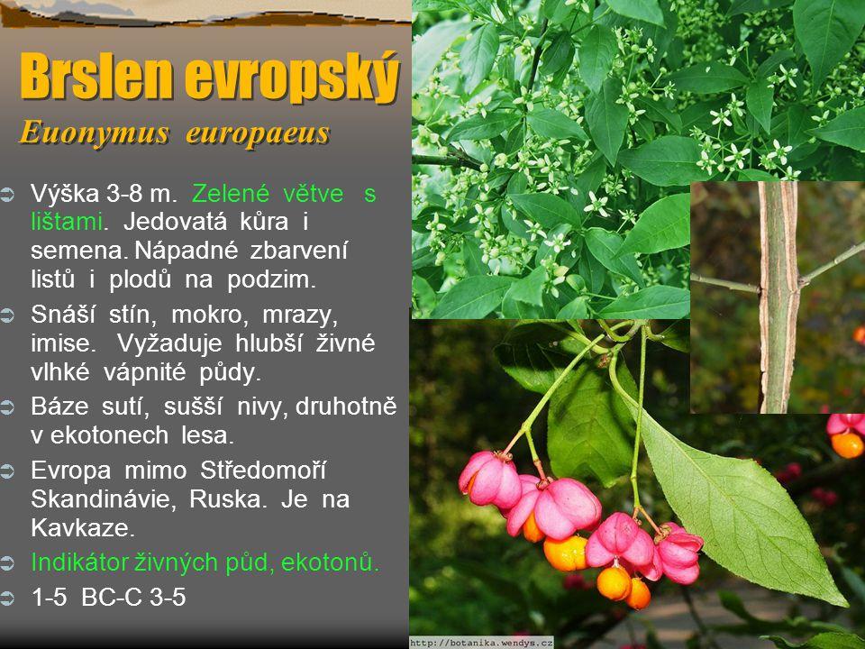 Brslen evropský Euonymus europaeus  Výška 3-8 m. Zelené větve s lištami. Jedovatá kůra i semena. Nápadné zbarvení listů i plodů na podzim.  Snáší st