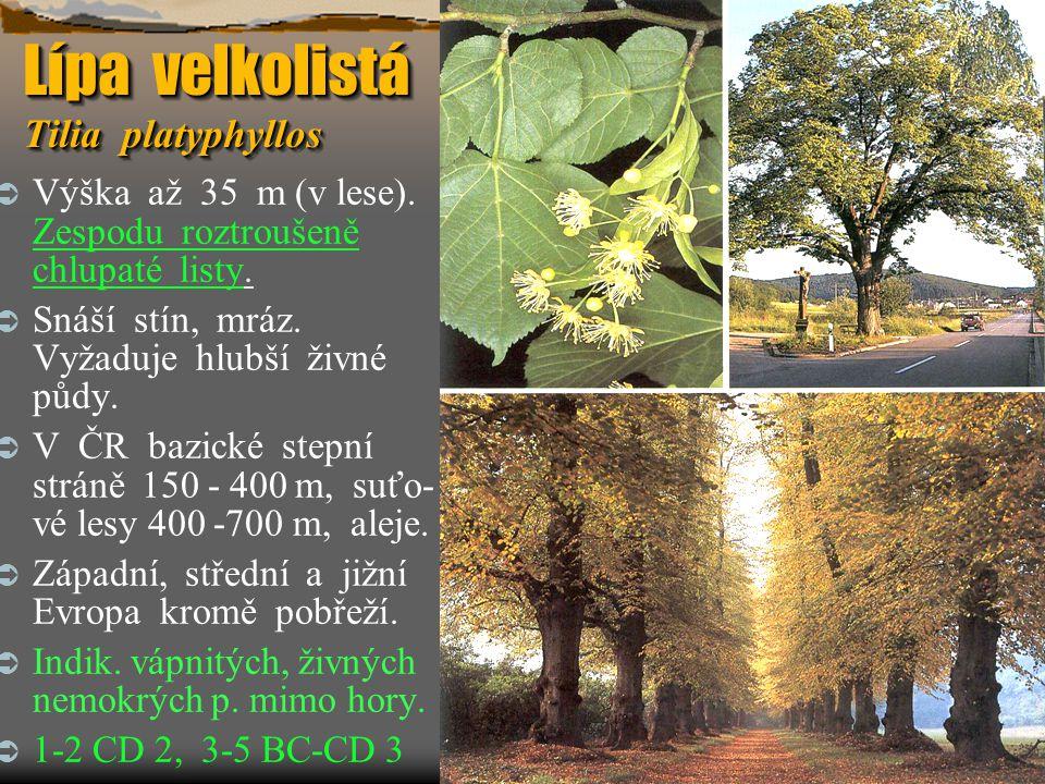 Lípa velkolistá Tilia platyphyllos  Výška až 35 m (v lese). Zespodu roztroušeně chlupaté listy.  Snáší stín, mráz. Vyžaduje hlubší živné půdy.  V Č