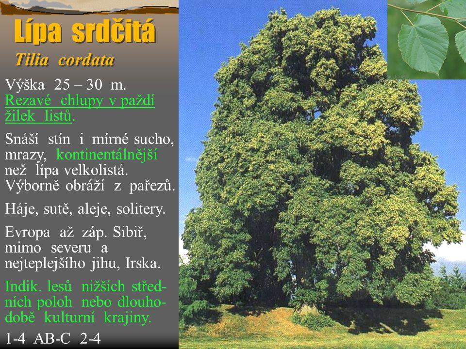 Lípa srdčitá Tilia cordata Výška 25 – 30 m.Rezavé chlupy v paždí žilek listů.