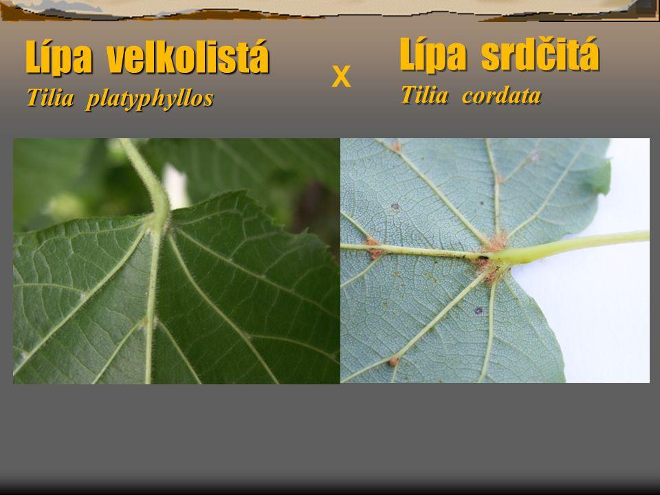 Lípa srdčitá Tilia cordata Lípa velkolistá Tilia platyphyllos X