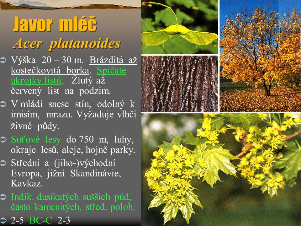 Javor mléč Acer platanoides  Výška 20 – 30 m. Brázditá až kostečkovitá borka. Špičaté úkrojky listů. Žlutý až červený list na podzim.  V mládí snese