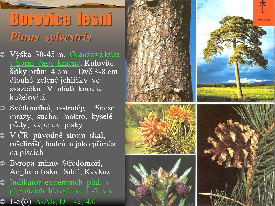 Borovice lesní Pinus sylvestris  Výška 30-45 m. Oranžová kůra v horní části kmene. Kulovité šišky prům. 4 cm. Dvě 3-8 cm dlouhé zelené jehličky ve sv