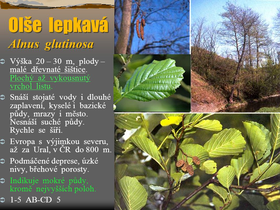 Olše lepkavá Alnus glutinosa  Výška 20 – 30 m, plody – malé dřevnaté šištice. Plochý až vykousnutý vrchol listu.  Snáší stojaté vody i dlouhé zaplav