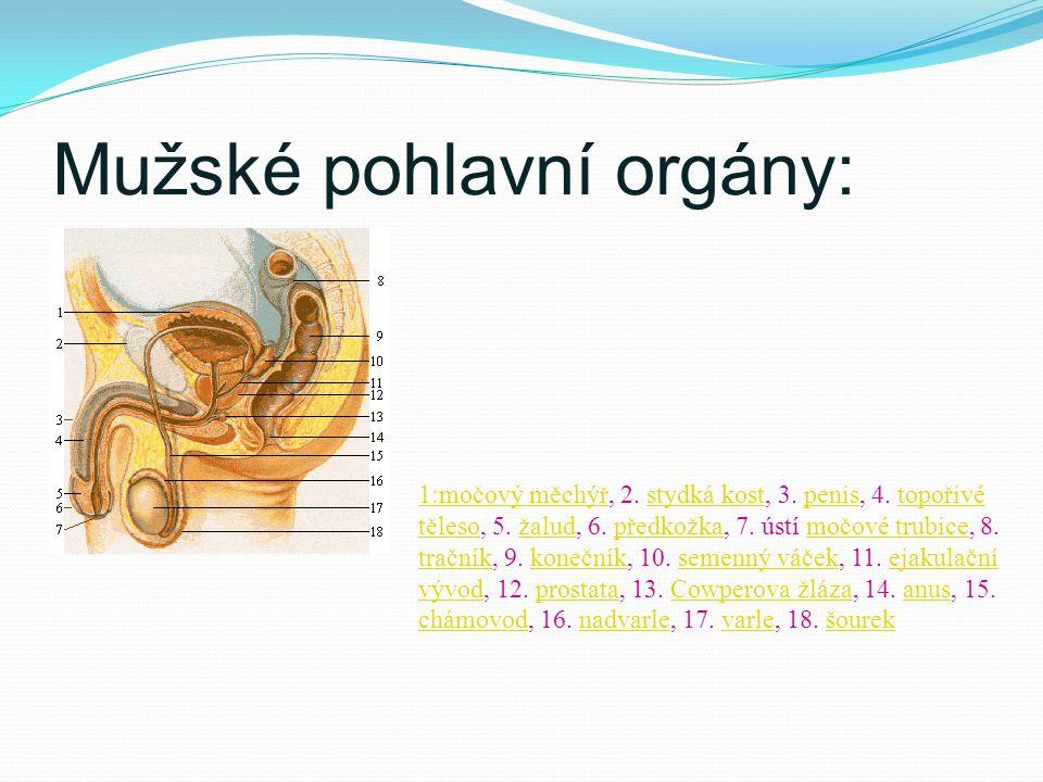 Mužské pohlavní orgány: 1:močový měchýř1:močový měchýř, 2. stydká kost, 3. penis, 4. topořivé těleso, 5. žalud, 6. předkožka, 7. ústí močové trubice,