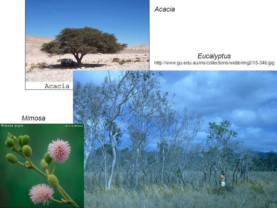 Eucalyptus http://www.gu.edu.au/ins/collections/webb/img2/15-34b.jpg Mimosa Acacia