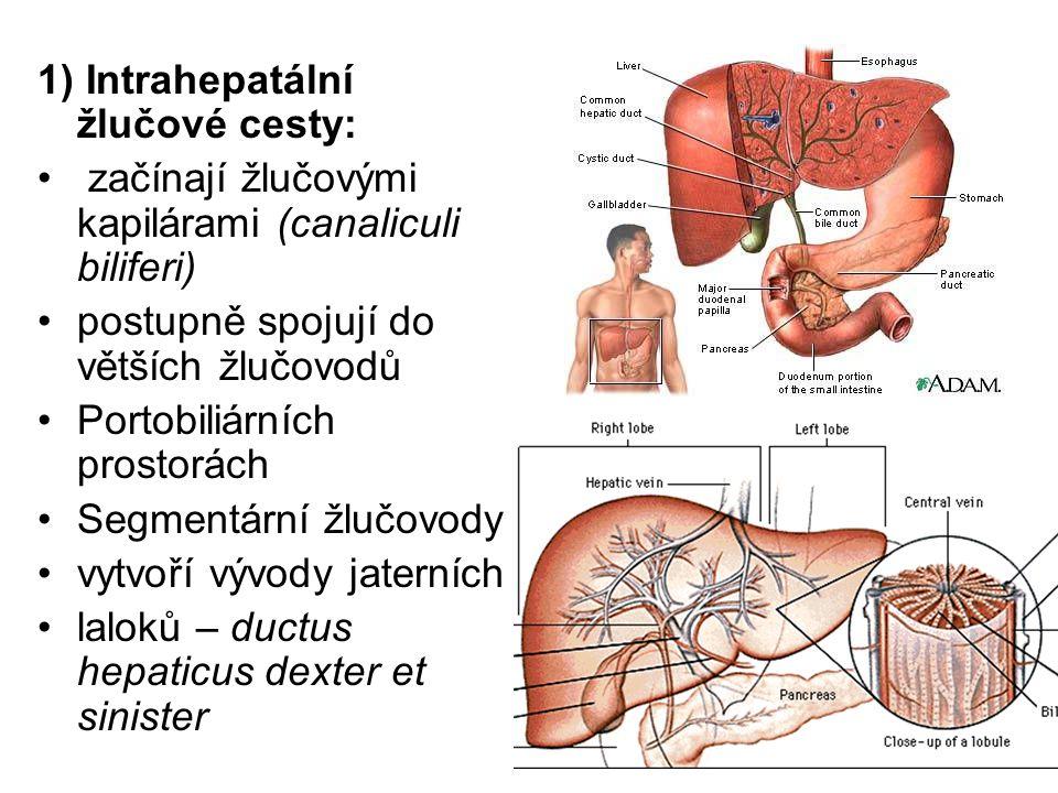 1) Intrahepatální žlučové cesty: začínají žlučovými kapilárami (canaliculi biliferi) postupně spojují do větších žlučovodů Portobiliárních prostorách