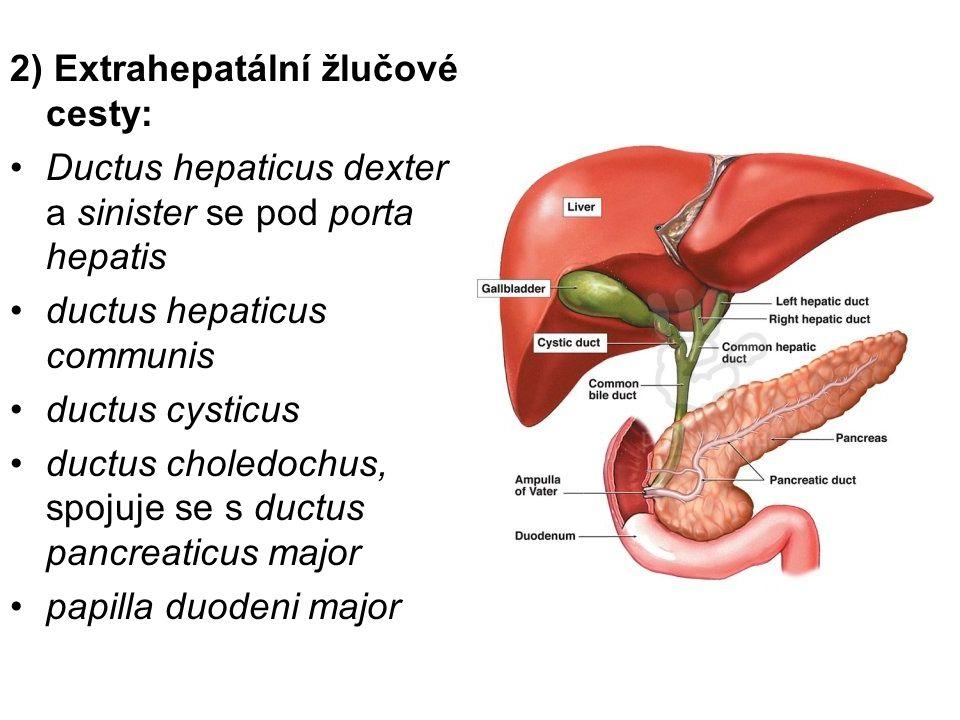 2) Extrahepatální žlučové cesty: Ductus hepaticus dexter a sinister se pod porta hepatis ductus hepaticus communis ductus cysticus ductus choledochus,