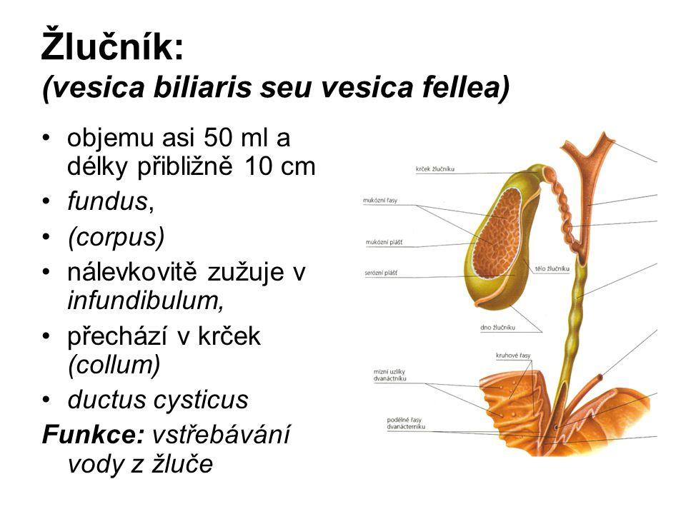 Žlučník: (vesica biliaris seu vesica fellea) objemu asi 50 ml a délky přibližně 10 cm fundus, (corpus) nálevkovitě zužuje v infundibulum, přechází v k