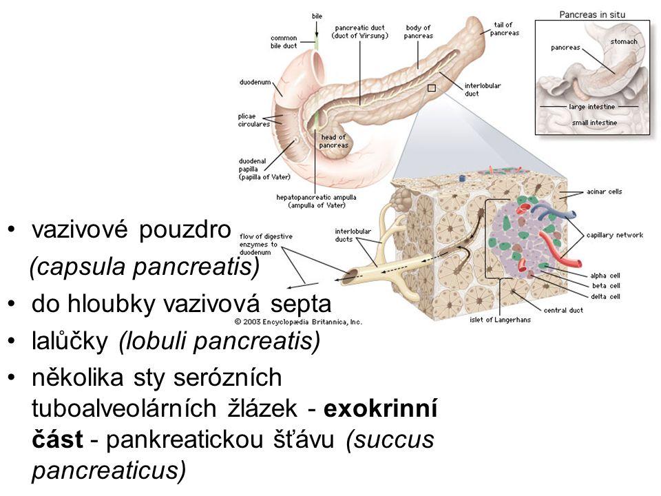 vazivové pouzdro (capsula pancreatis) do hloubky vazivová septa lalůčky (lobuli pancreatis) několika sty serózních tuboalveolárních žlázek - exokrinní