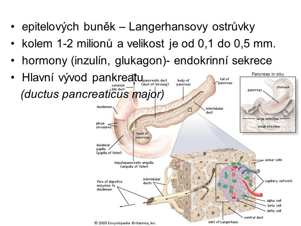 epitelových buněk – Langerhansovy ostrůvky kolem 1-2 milionů a velikost je od 0,1 do 0,5 mm. hormony (inzulín, glukagon)- endokrinní sekrece Hlavní vý