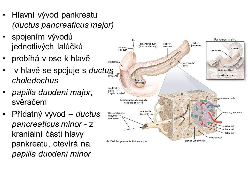 Hlavní vývod pankreatu (ductus pancreaticus major) spojením vývodů jednotlivých lalůčků probíhá v ose k hlavě v hlavě se spojuje s ductus choledochus