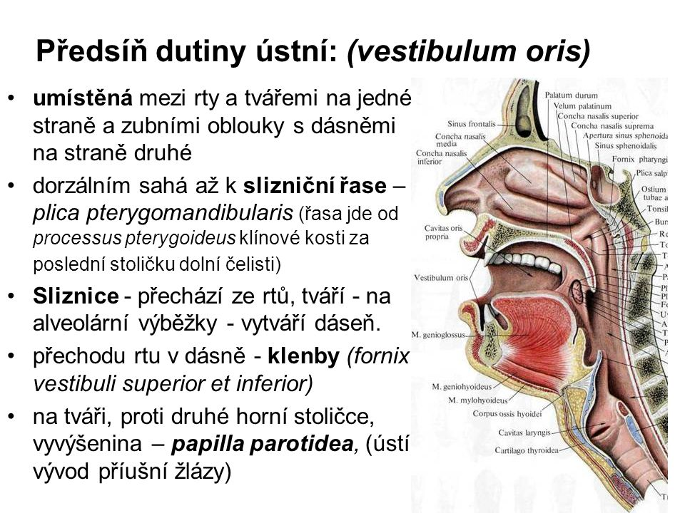 Předsíň dutiny ústní: (vestibulum oris) umístěná mezi rty a tvářemi na jedné straně a zubními oblouky s dásněmi na straně druhé dorzálním sahá až k sl