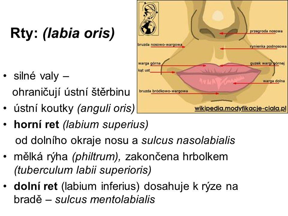 Rty: (labia oris) silné valy – ohraničují ústní štěrbinu ústní koutky (anguli oris) horní ret (labium superius) od dolního okraje nosu a sulcus nasola