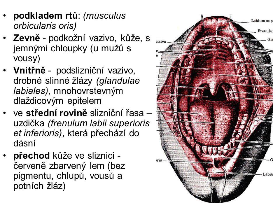 podkladem rtů: (musculus orbicularis oris) Zevně - podkožní vazivo, kůže, s jemnými chloupky (u mužů s vousy) Vnitřně - podslizniční vazivo, drobné sl