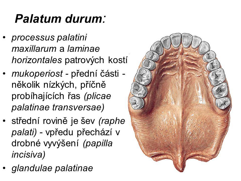 Palatum durum : processus palatini maxillarum a laminae horizontales patrových kostí mukoperiost - přední části - několik nízkých, příčně probíhajícíc